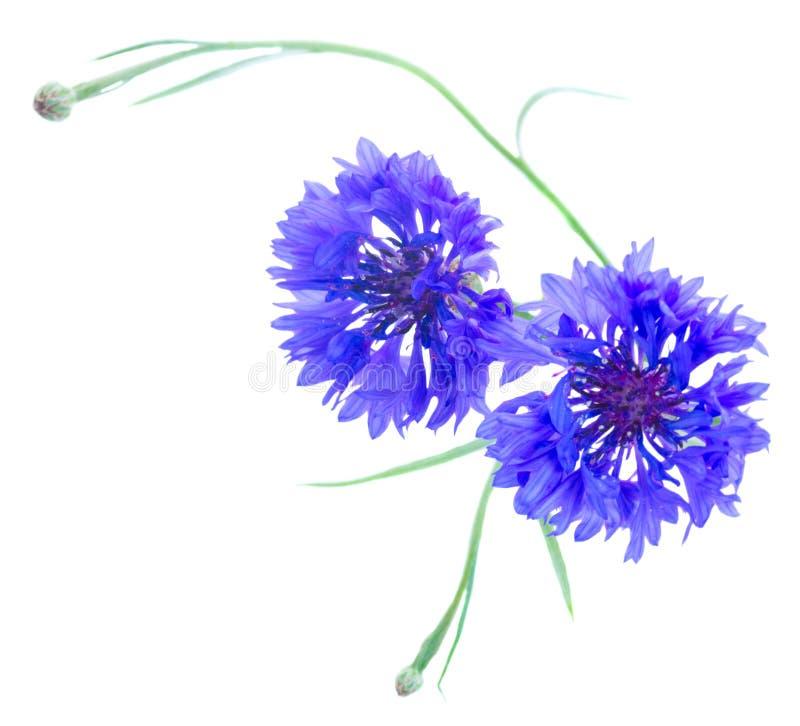 Μπλε cornflowers στο λευκό στοκ φωτογραφίες με δικαίωμα ελεύθερης χρήσης