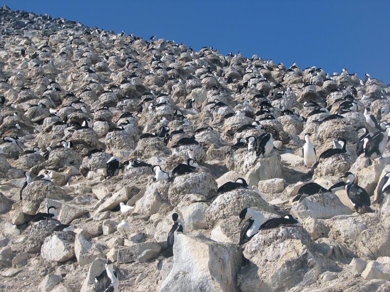 Μπλε-eyed κορμοράνοι αποικιών στη βουνοπλαγιά στοκ εικόνες