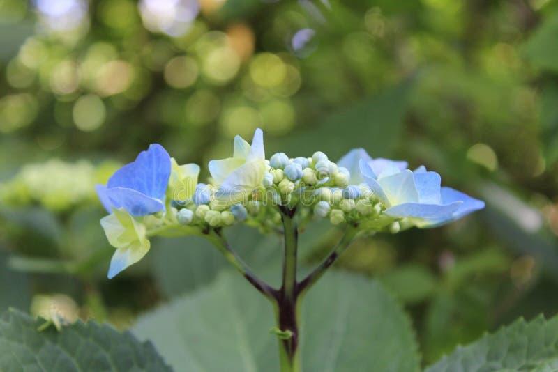 Μπλε hydregenia στοκ εικόνες