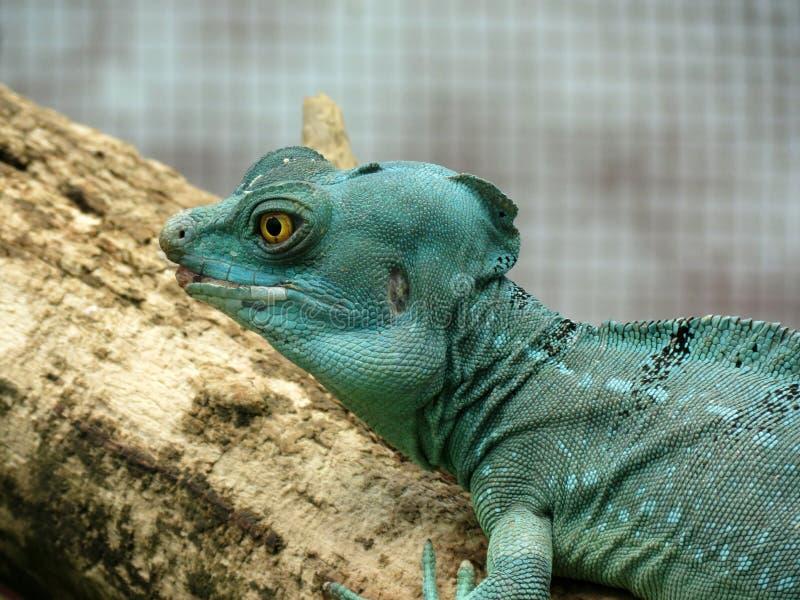 Μπλε Iguana Iguana σε έναν κλάδο στοκ φωτογραφία με δικαίωμα ελεύθερης χρήσης