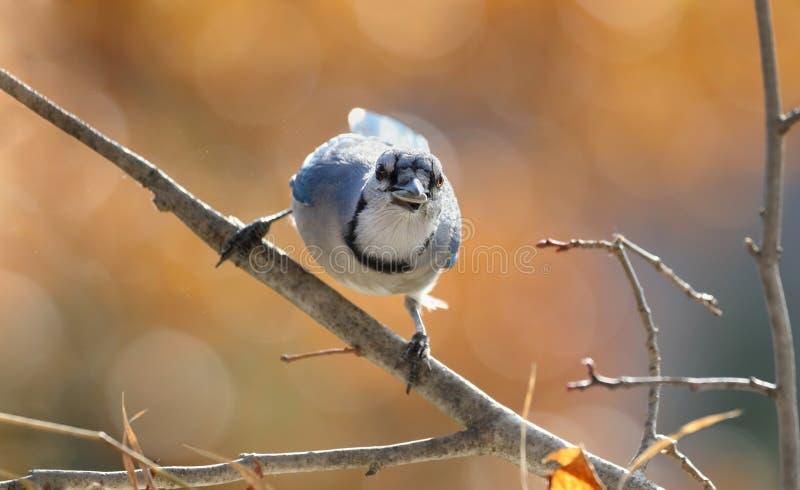 Μπλε jay στη φύση στοκ εικόνα