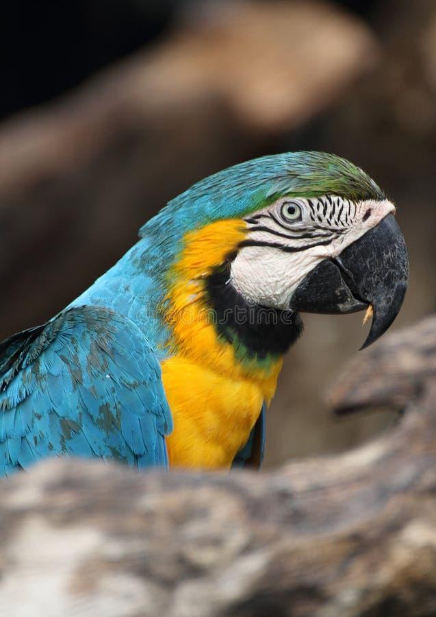Μπλε-Macaw στοκ φωτογραφία με δικαίωμα ελεύθερης χρήσης
