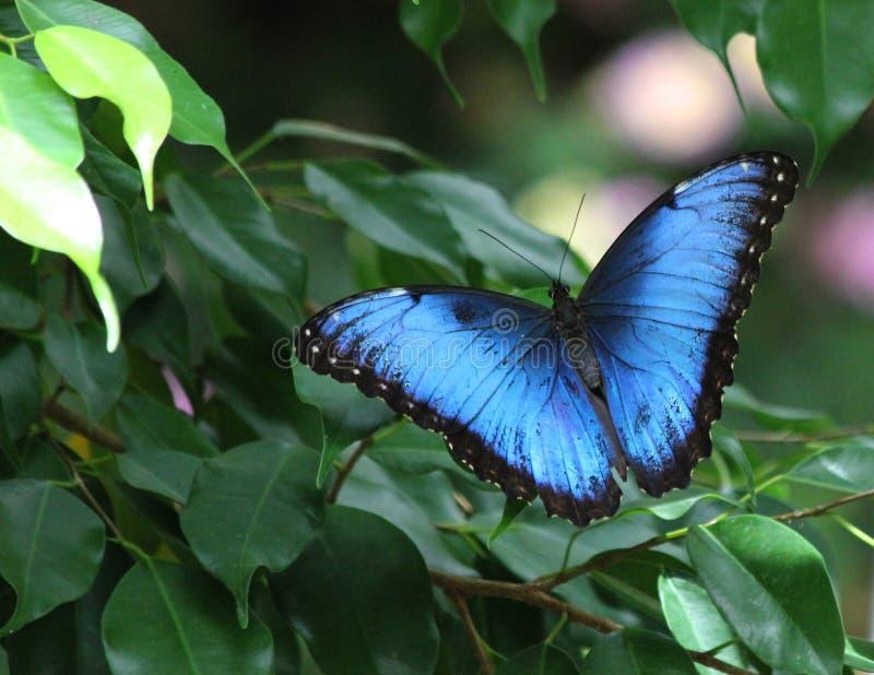 μπλε morpho πεταλούδων στοκ εικόνες