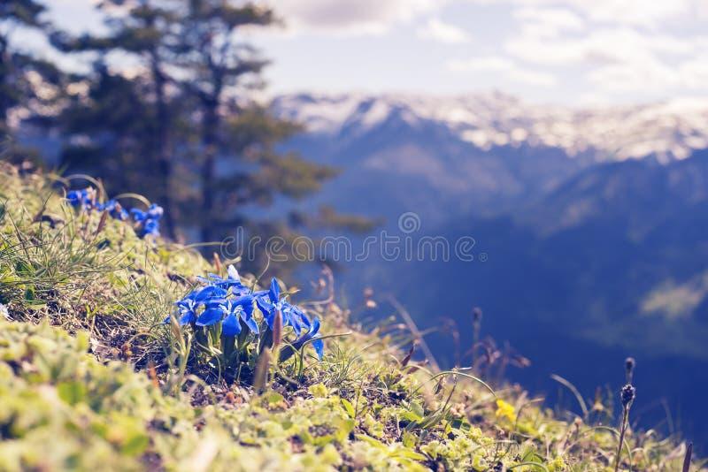 Μπλε wildflowers, κινηματογράφηση σε πρώτο πλάνο, που ανθίζουν στο αλπικό λιβάδι στοκ φωτογραφίες