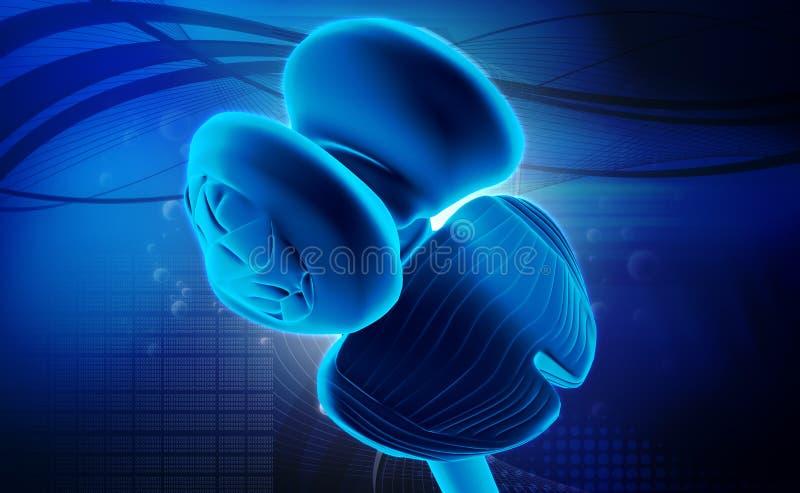 Μυελός και παρεγκεφαλίδα θαλάμων νωτιαίος ελεύθερη απεικόνιση δικαιώματος