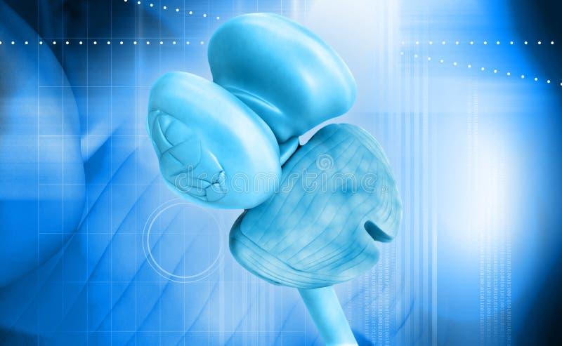 Μυελός και παρεγκεφαλίδα θαλάμων νωτιαίος διανυσματική απεικόνιση