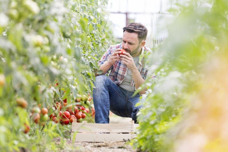 Μυρίζοντας ντομάτες ατόμων συγκομίζοντας στο αγρόκτημα στοκ εικόνες