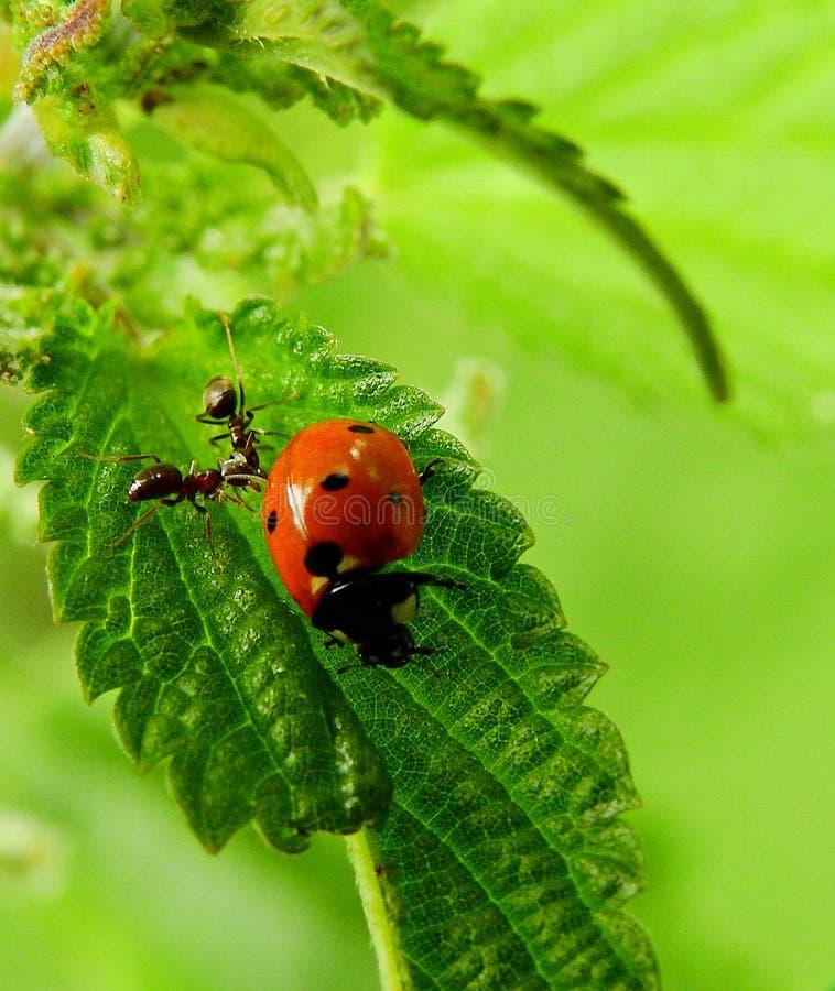 Μυρμήγκια και ladybug σε ένα πράσινο φύλλο στοκ φωτογραφίες