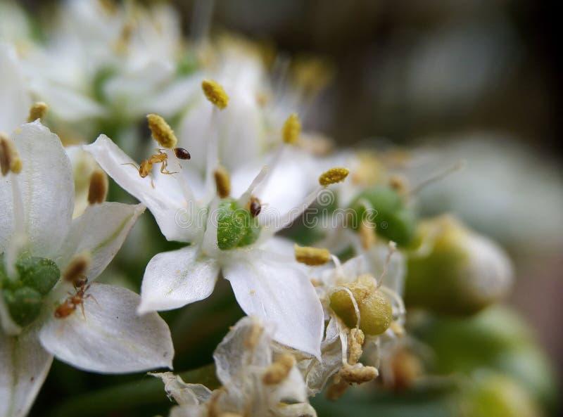 Μυρμήγκια στο λουλούδι στοκ εικόνα