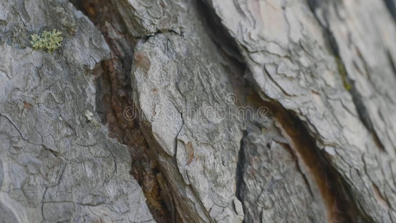 Μυρμήγκια στο φλοιό δέντρων Τα πορτοκαλιά μυρμήγκια παρατάσσουν από το έδαφος στα δέντρα για να βρούν τα τρόφιμα στις φωλιές τους στοκ φωτογραφίες