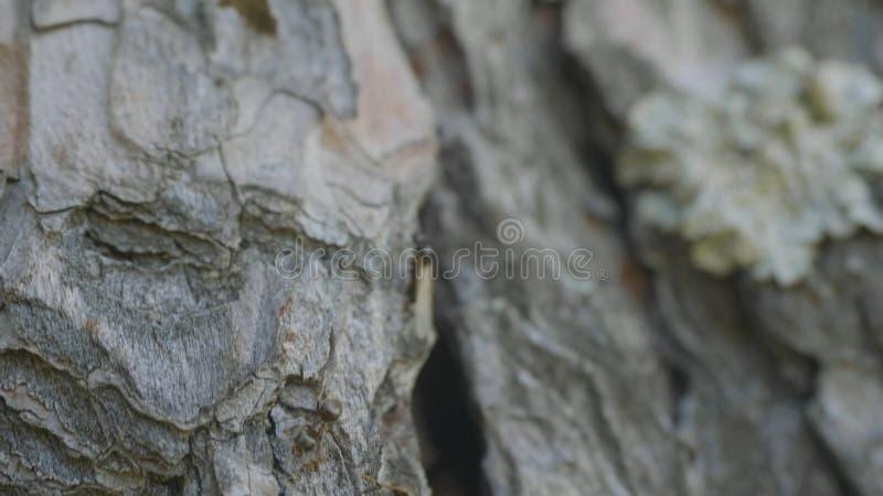 Μυρμήγκια στο φλοιό δέντρων Τα πορτοκαλιά μυρμήγκια παρατάσσουν από το έδαφος στα δέντρα για να βρούν τα τρόφιμα στις φωλιές τους στοκ εικόνες με δικαίωμα ελεύθερης χρήσης