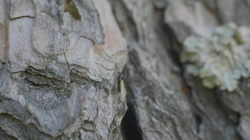 Μυρμήγκια στο φλοιό δέντρων Τα πορτοκαλιά μυρμήγκια παρατάσσουν από το έδαφος στα δέντρα για να βρούν τα τρόφιμα στις φωλιές τους στοκ φωτογραφία