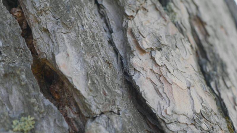 Μυρμήγκια στο φλοιό δέντρων Τα πορτοκαλιά μυρμήγκια παρατάσσουν από το έδαφος στα δέντρα για να βρούν τα τρόφιμα στις φωλιές τους στοκ φωτογραφία με δικαίωμα ελεύθερης χρήσης