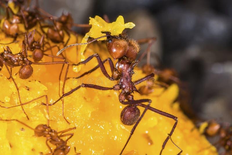 Μυρμήγκια φύλλο-κοπτών σε φρούτα μάγκο στοκ φωτογραφία με δικαίωμα ελεύθερης χρήσης