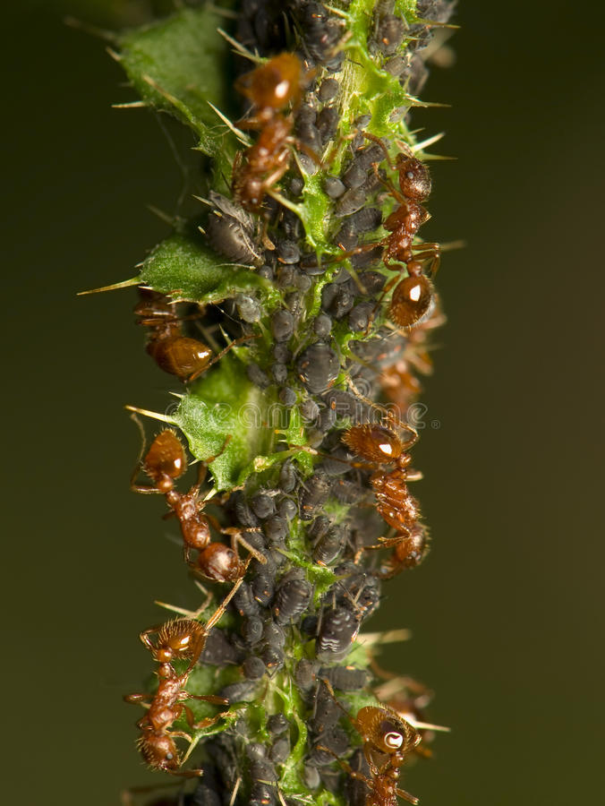 μυρμήγκια aphids που αρμέγουν στοκ φωτογραφίες με δικαίωμα ελεύθερης χρήσης