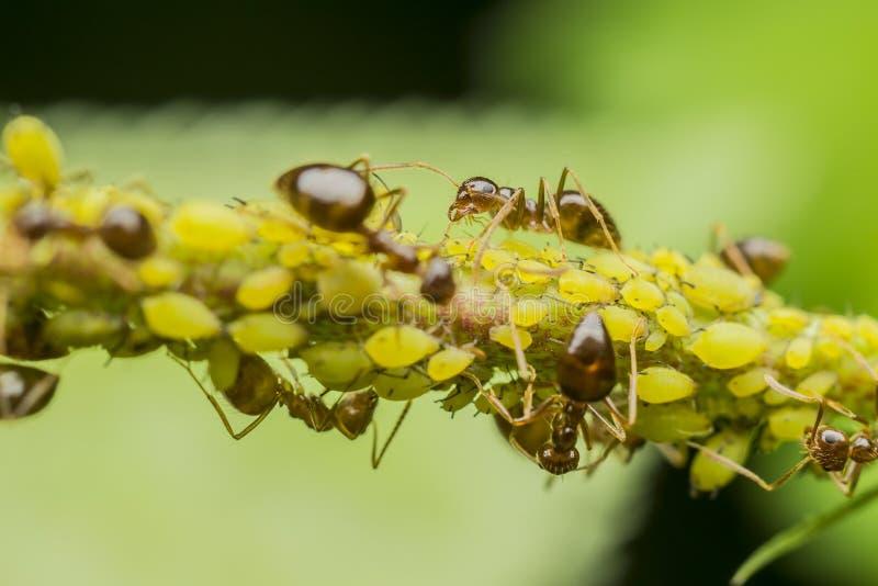 μυρμήγκια aphids που τρώνε στοκ φωτογραφία
