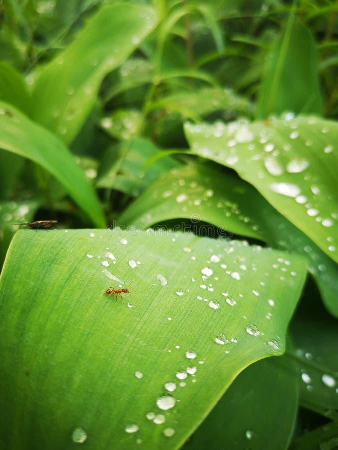 Μυρμήγκι & δροσιά στοκ εικόνα με δικαίωμα ελεύθερης χρήσης