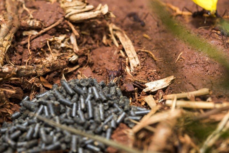 Μυρμήγκι που τρώει το δηλητήριο στοκ εικόνες