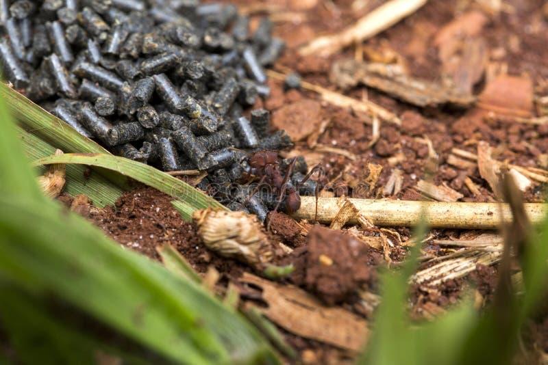 Μυρμήγκι που τρώει το δηλητήριο στοκ φωτογραφία