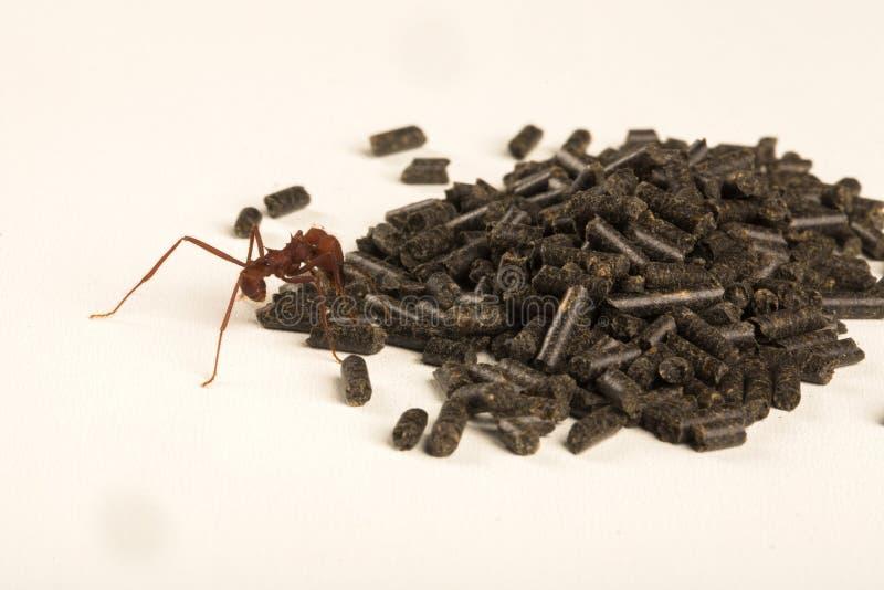 Μυρμήγκι που τρώει το δηλητήριο στοκ φωτογραφία με δικαίωμα ελεύθερης χρήσης