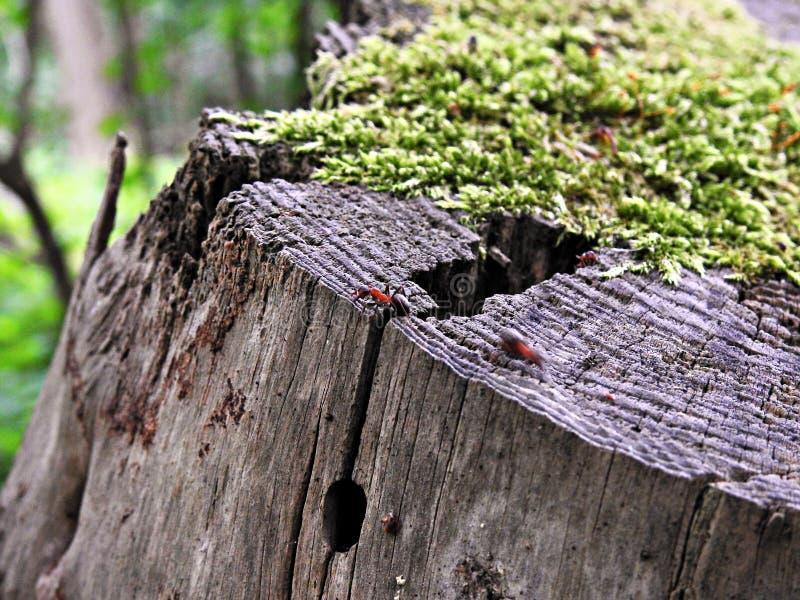 Μυρμήγκι σε έναν καλυμμένο βρύο κορμό δέντρων στοκ εικόνες