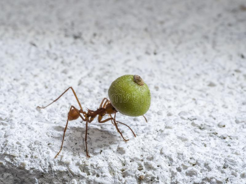 Μυρμήγκι φύλλο-κοπτών με το φρούτο-μέρος στοκ εικόνα