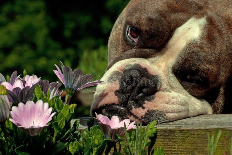 Μυρωδιά μπουλντόγκ τα λουλούδια στοκ φωτογραφίες