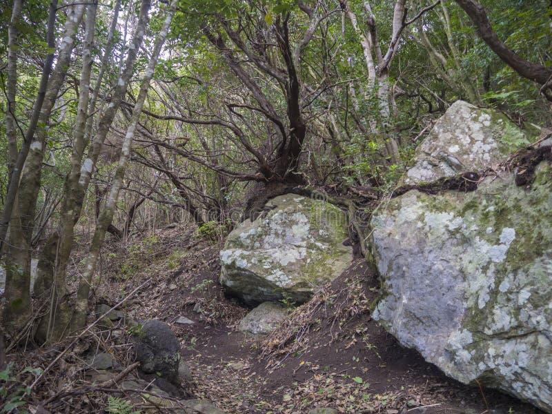 Μυστηρίου αρχικό τροπικό δάσος Laurisilva δαφνών δασικό με το παλαιό gre στοκ εικόνες