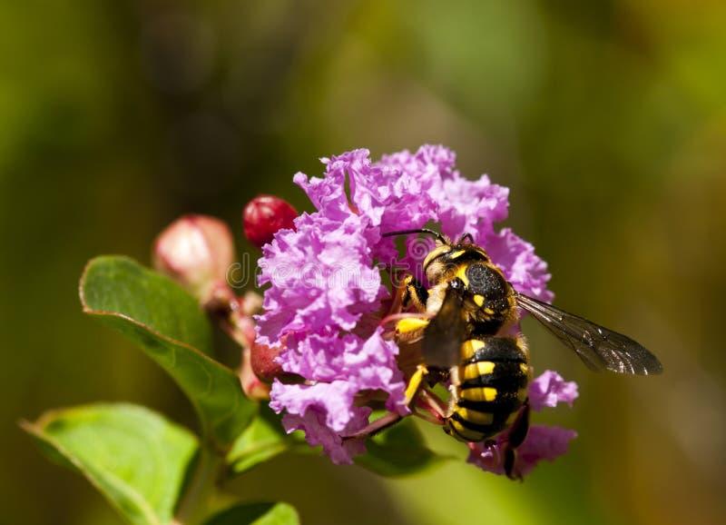 μωβ επικονίαση λουλο&upsilon στοκ εικόνα