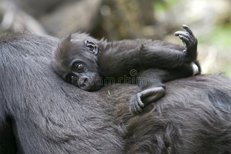 Μωρό γορίλλων στοκ εικόνα