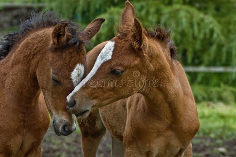 μωρό κάθε άλογα που σπρώχνουν με τη μουσούδα άλλα δύο στοκ φωτογραφία με δικαίωμα ελεύθερης χρήσης