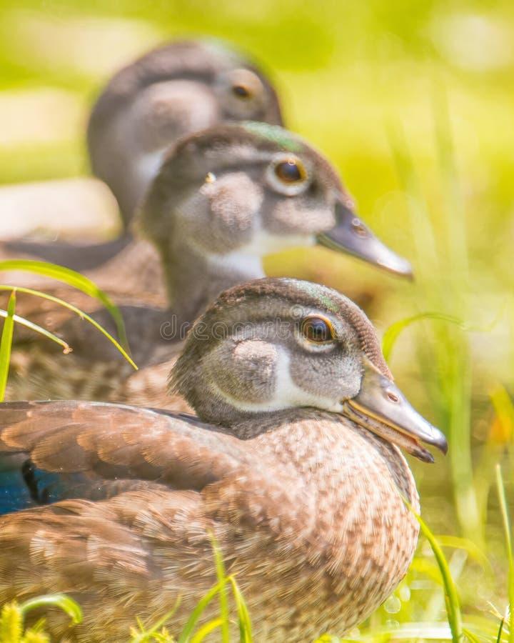 Μωρό/νεανικές ξύλινες πάπιες που βρίσκεται στη χλόη κοντά στα νερά κοιτών πλημμυρών του ποταμού Μινεσότας στοκ εικόνες με δικαίωμα ελεύθερης χρήσης