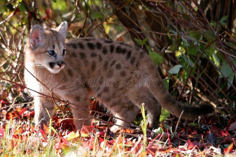 Μωρό cougar, λιοντάρι βουνών, ή puma στοκ φωτογραφία