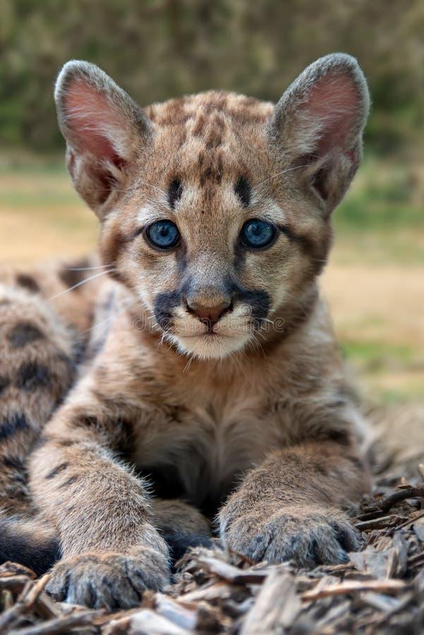 Μωρό cougar, λιοντάρι βουνών ή puma στοκ φωτογραφία