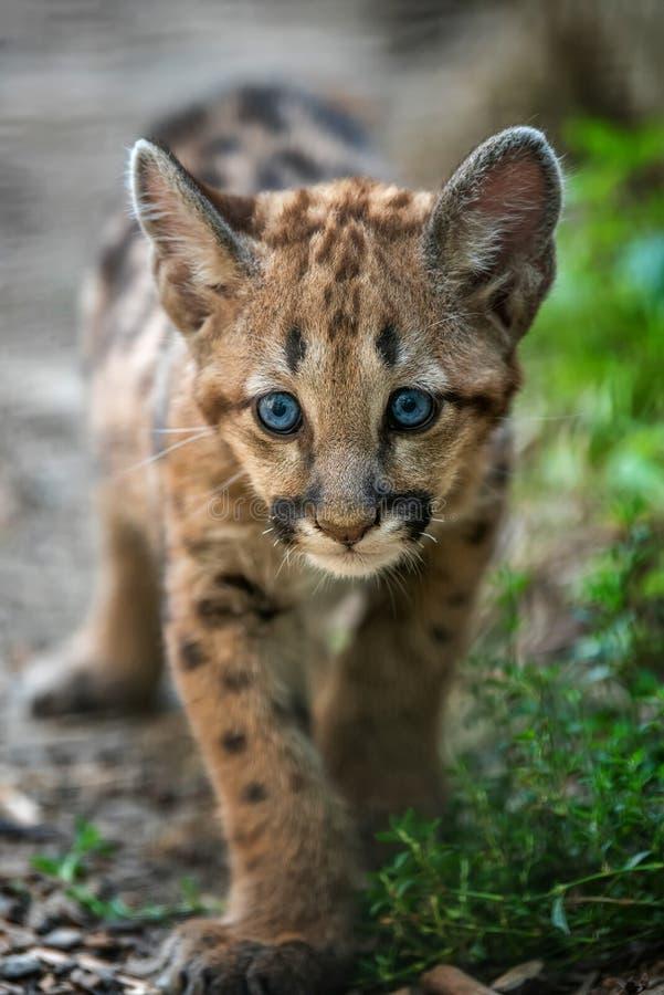 Μωρό cougar, λιοντάρι βουνών ή puma στοκ εικόνες με δικαίωμα ελεύθερης χρήσης