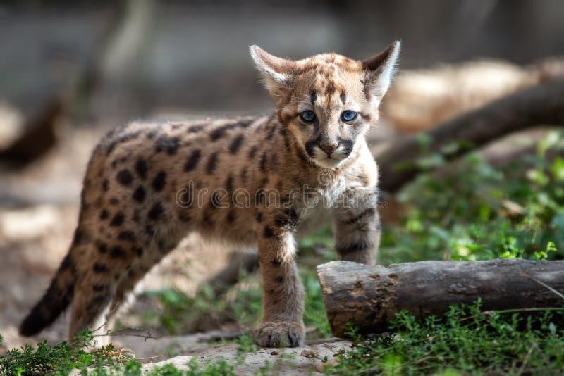Μωρό cougar, λιοντάρι βουνών ή puma στοκ φωτογραφίες με δικαίωμα ελεύθερης χρήσης