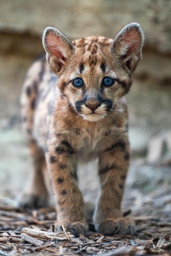 Μωρό cougar, λιοντάρι βουνών ή puma στοκ εικόνες