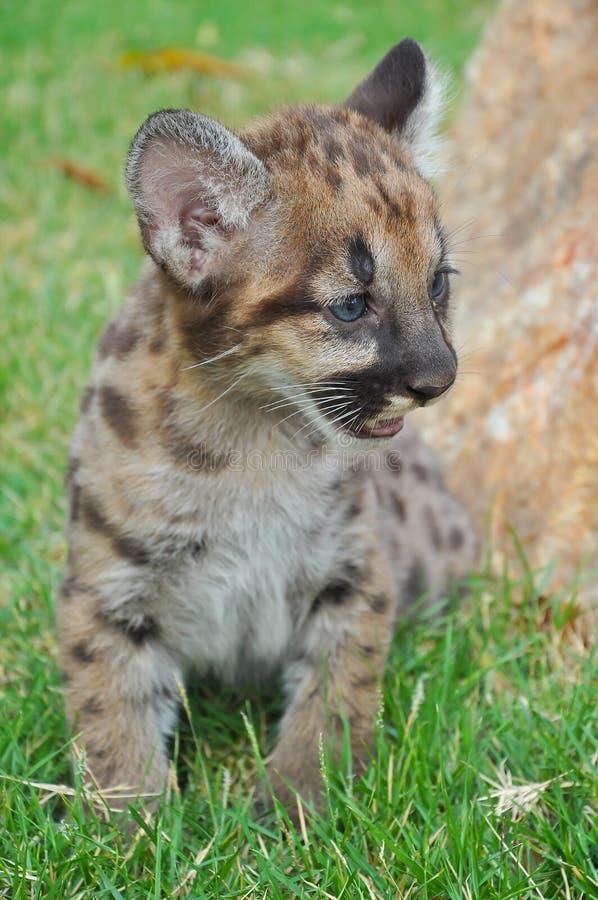 Μωρό cougar στοκ εικόνες