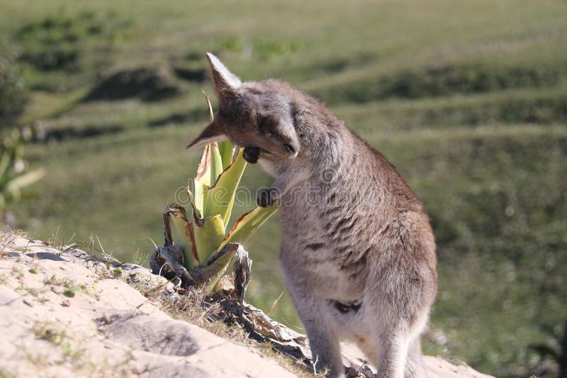 Μωρό Kangaro που ξυπνά το πρωί στοκ εικόνες