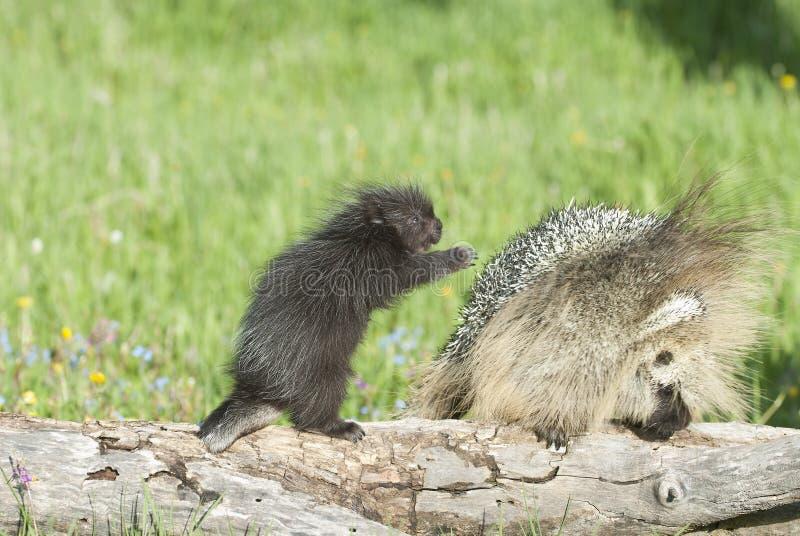μωρό porcupine μητέρων που του φθάν&epsil στοκ εικόνες