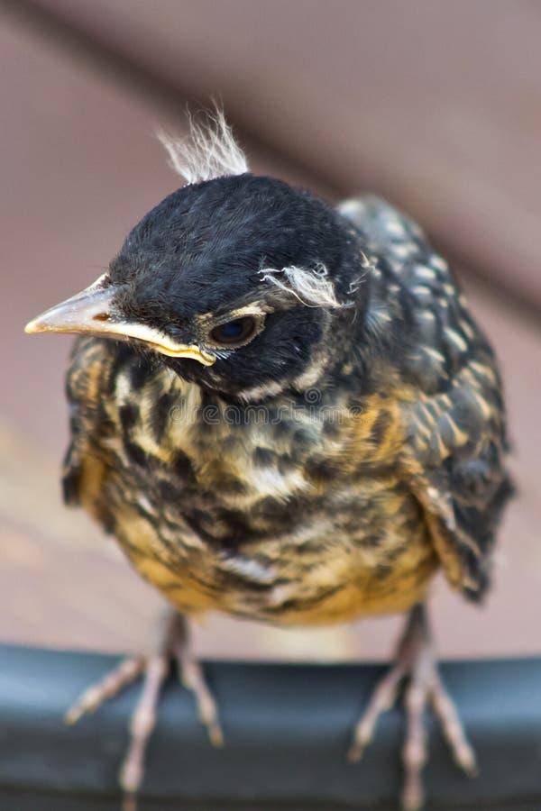 Μωρό Robin που σωριάζει το κεφάλι του στοκ εικόνες