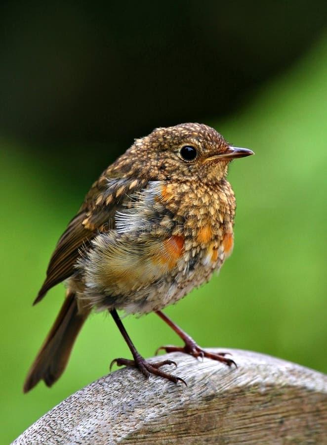 Μωρό Robin στοκ εικόνα