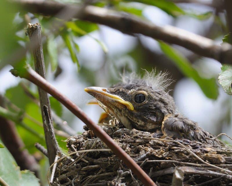 μωρό Robin στοκ εικόνες