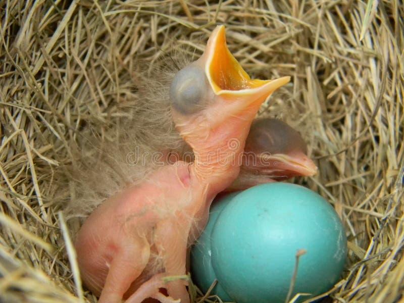 μωρό robins στοκ εικόνες με δικαίωμα ελεύθερης χρήσης