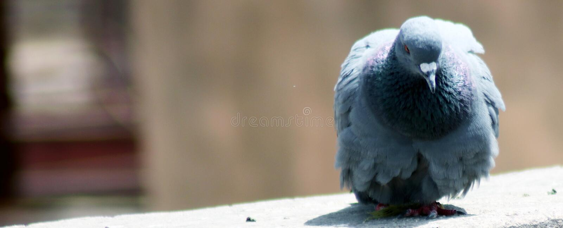 Μόνα γκρίζα ινδικά φτερά περιστεριών που κάθονται στοκ εικόνα με δικαίωμα ελεύθερης χρήσης