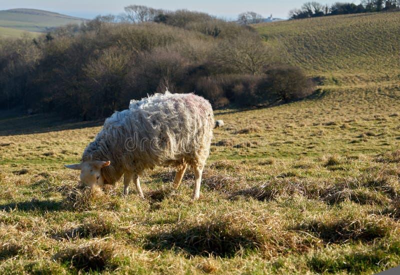 Μόνα πρόβατα που τρώνε τη χλόη στον τομέα με μια άποψη του χωριού o στοκ εικόνες