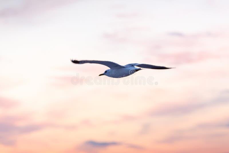 Μόνες seagull μύγες ενάντια στον ουρανό στο ηλιοβασίλεμα στοκ φωτογραφία με δικαίωμα ελεύθερης χρήσης