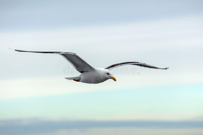 Μόνες seagull μύγες στον ορίζοντα ενάντια στον ουρανό στο ηλιοβασίλεμα στοκ φωτογραφίες με δικαίωμα ελεύθερης χρήσης