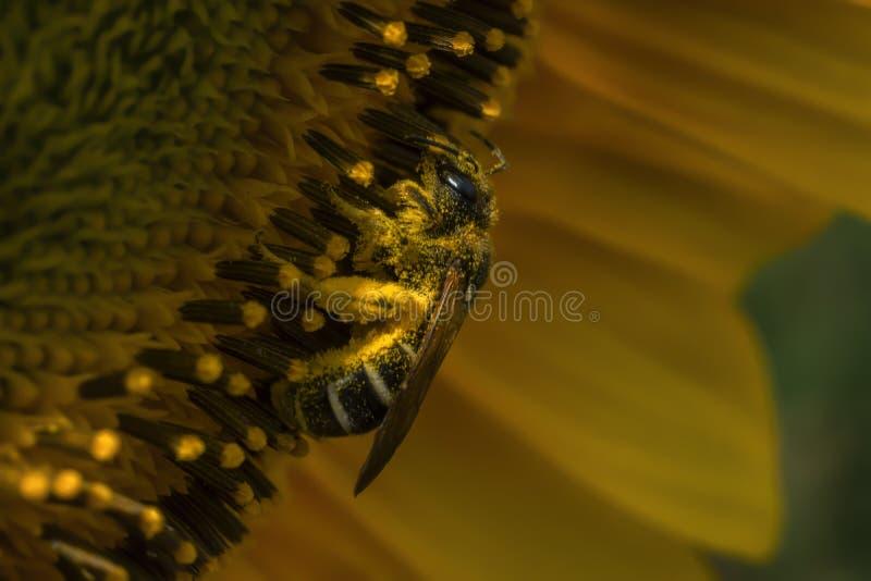 Μόνη μέλισσα στον ηλίανθο στοκ εικόνα με δικαίωμα ελεύθερης χρήσης