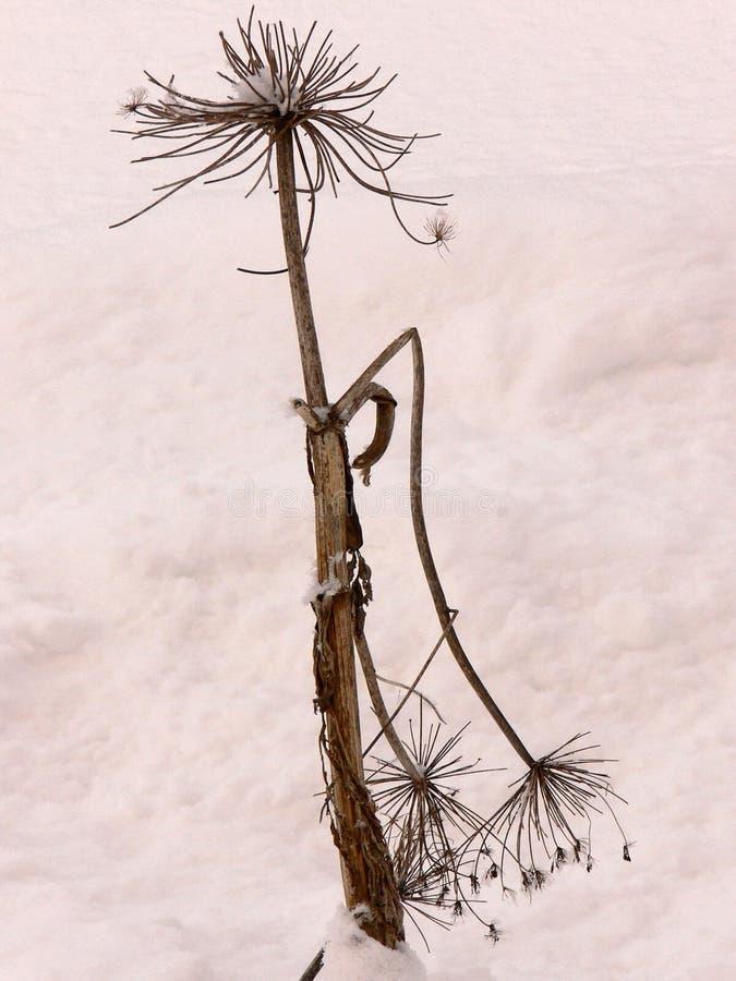 Μόνη μαραμένη λεπίδα της χλόης στο χιόνι στοκ φωτογραφίες